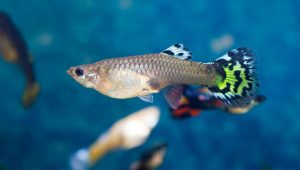 Guppy best fish for 10 gallon tank