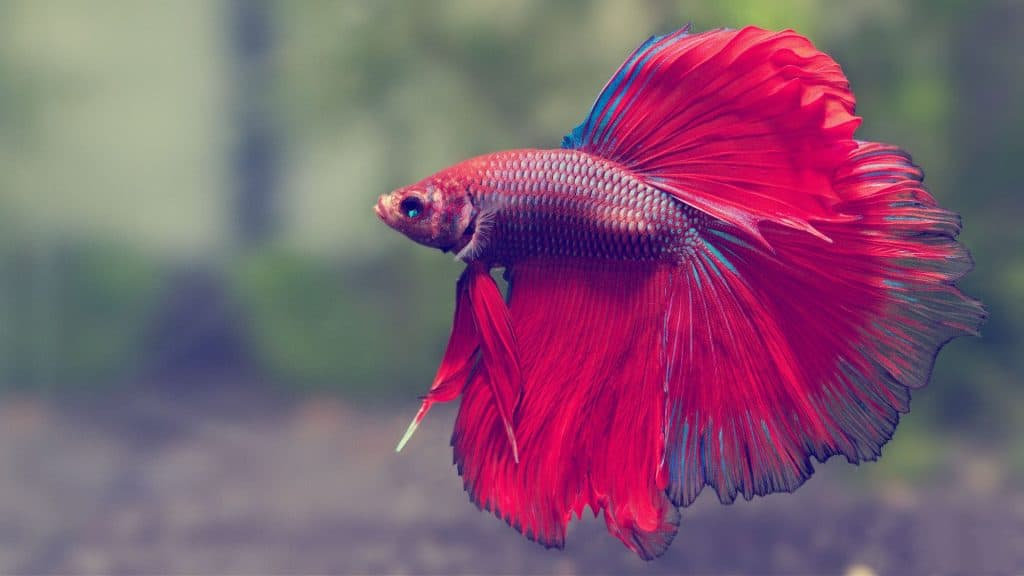 How To Take Care Of A Betta Fish Best Betta Fish Tank