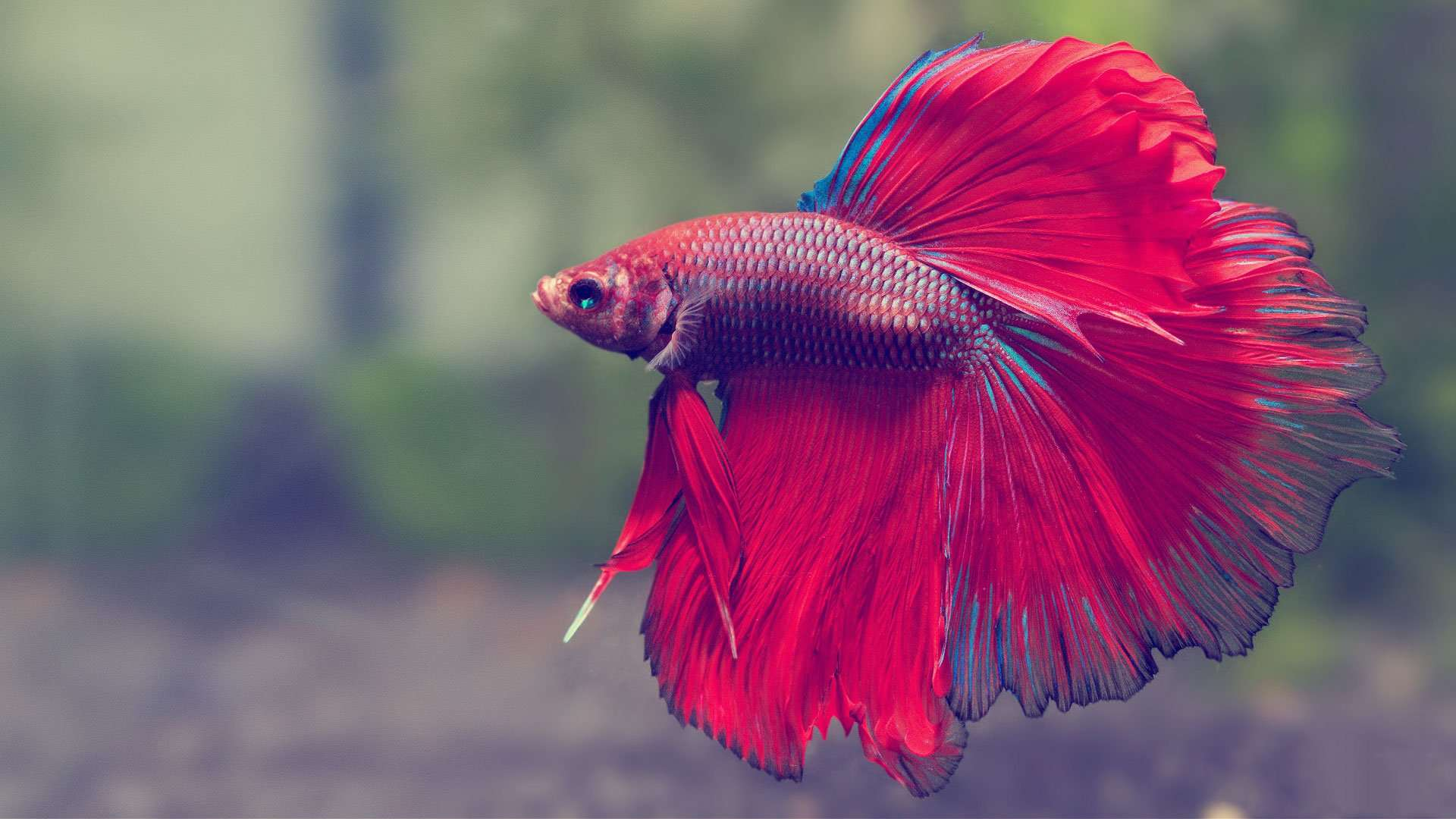 How to take care of a betta fish best betta fish tank for Care for betta fish