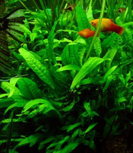 java fern fish tank plant