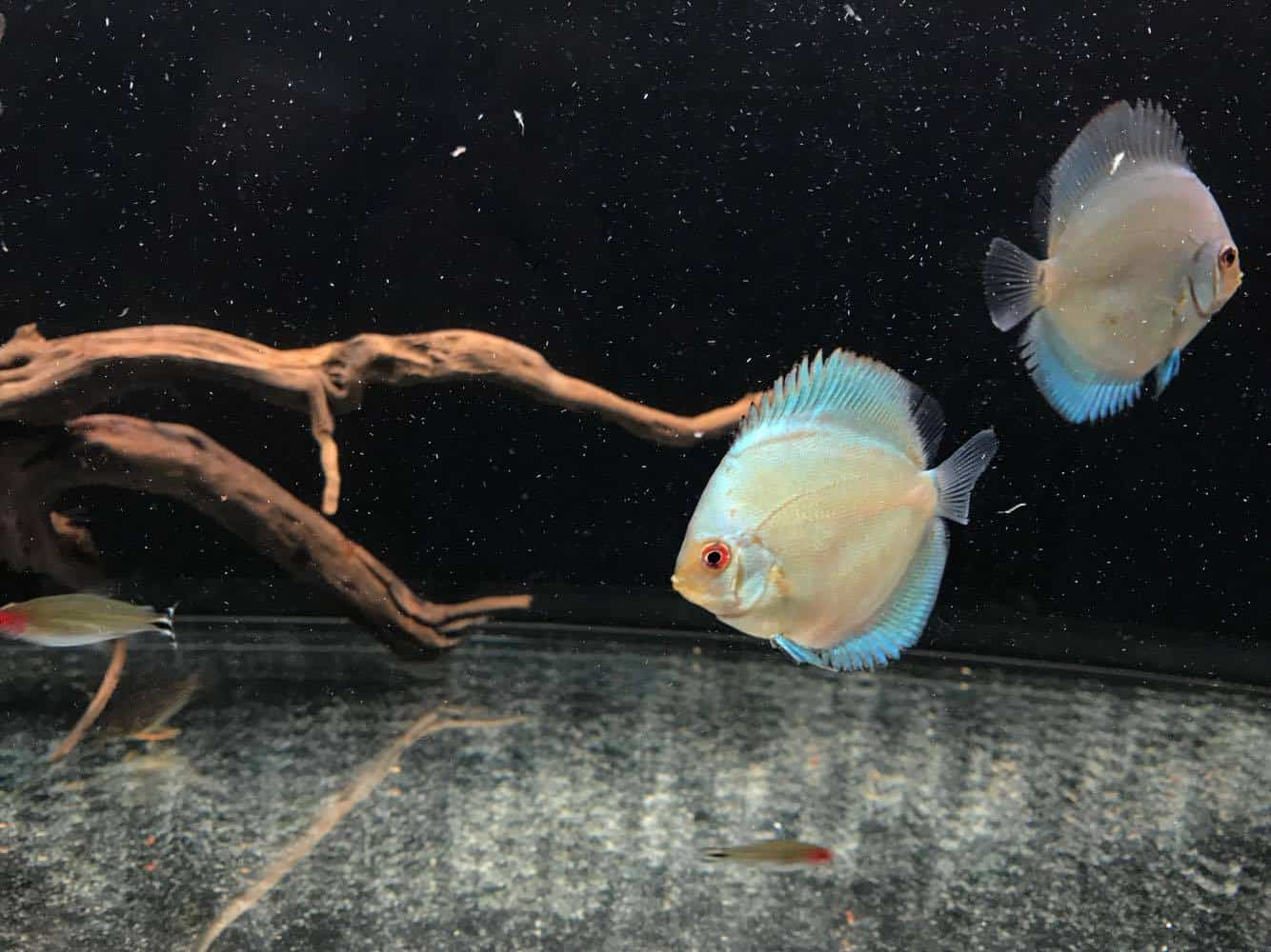 healthy discus fish
