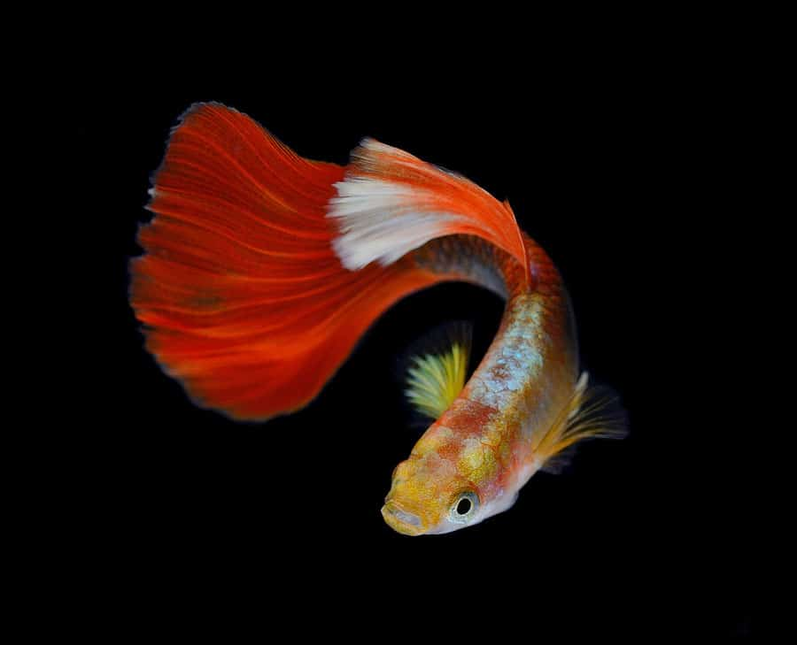 Guppy Fish Care Tank Size Food Breeding And Water Parameters