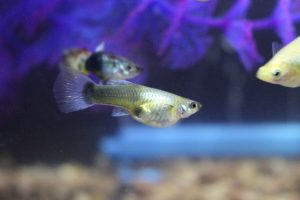 pregnant guppy female