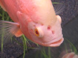 Hole In The Head freshwater fish disease