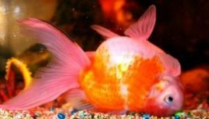 Swim Bladder disease golden fish
