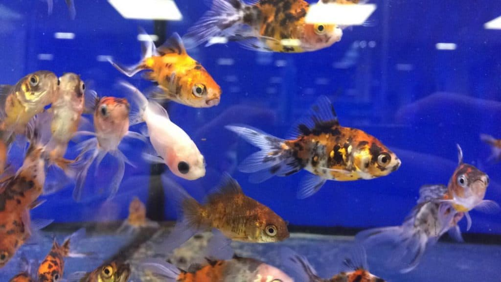 how many fish you can put in your aquarium