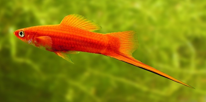 swordtail platy
