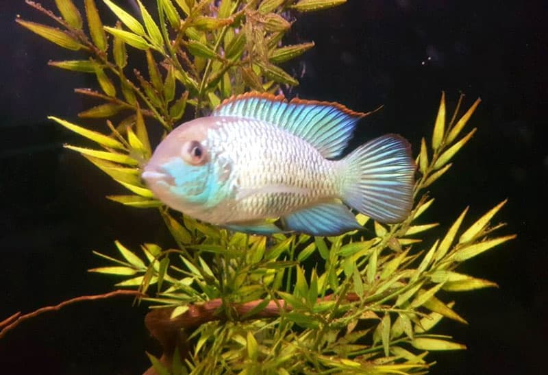 Blue acara and plants