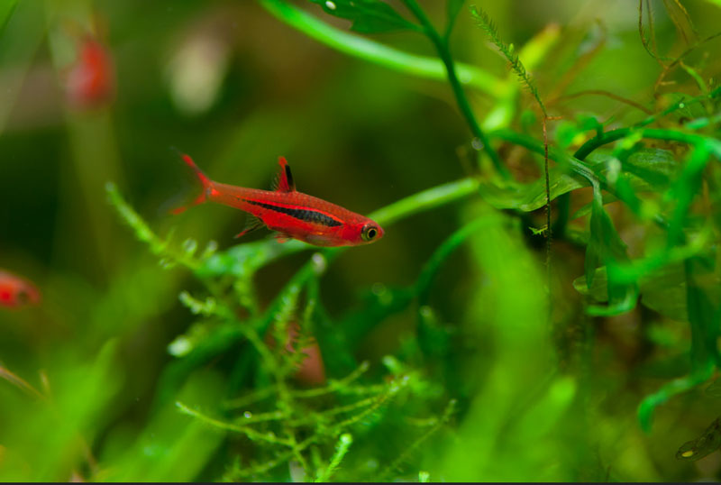 Chili rasbora requirements